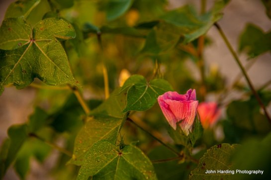 Pink Cotton  Posted to Flickr August 7, 2014