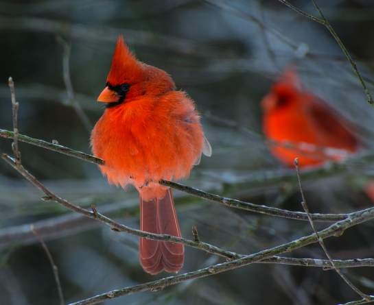 Resident Reds   Posted to flickr November 20, 2014